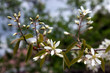 Bloom of tree Amelanchier