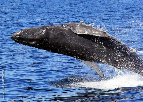 Poster Humpback Whale Breaching