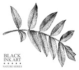 Illustration with leaf of Rowan drawn by hand with black ink. Graphic drawing, pointillism technique. Floral element for design.