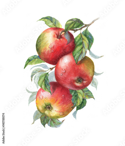 Hand drawn watercolor illustration of the sweet ripe apples on the branch. Drawing of the tasty fresh healthy food. Isolated clip art. Apple fruits and leaves - 140788074