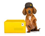 post delivery dachshund sausage dog