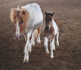 Mare pony with foal. Two horses in the arena.