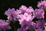 Azalee blüht rosa