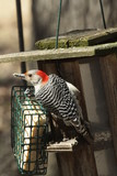 Illinois woodpeckers at suet feeder