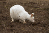 Albino wallaby eet wat.