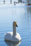 冬の白鳥 / オオハクチョウ 北海道