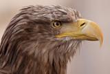 Seeadler Porträt