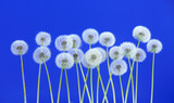 Dandelion flower on blue color background, group objects on blank space backdrop, nature and spring season concept.