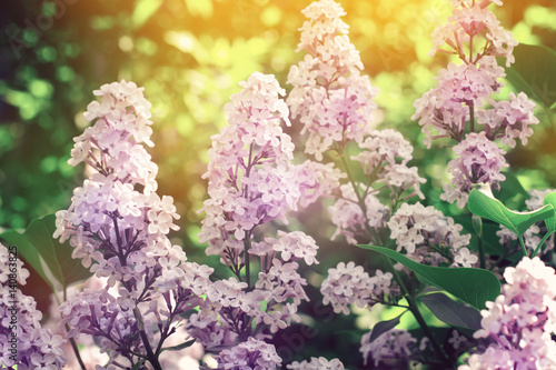 Beautiful Lilacs closeup on the background of foliage and sunset. Selective focus