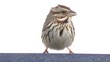 Song Sparrow (Melospiza melodia) perched on a feeder in snow