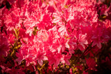 Rhododendron flowers in the garden, natural flower background