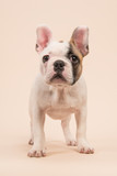 Cute almost white french bulldog puppy standing looking at the camera seen from the front on a creme colored background