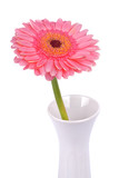 Pink gerber in white vase on a on a white background