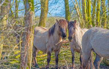 Wild horses in a forest in spring