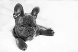 French Bulldog in her White Blanket