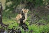 Cucciolo di leone gioca