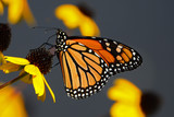 Monarch butterfly feeding on yellow cone flower