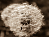 dandelion seeds macro photo retro