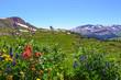 Aspen Wildflowers
