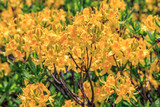 Yellow blooming azalea flower bush. Sunny view at spring. Natural background