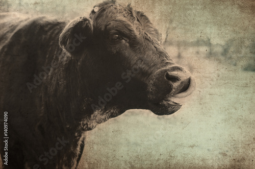 Cute black cow on rural farm with antique color and grunge texture.  Makes for great print or backdrop. - 140974090