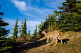Deer seen at Olympic National Park