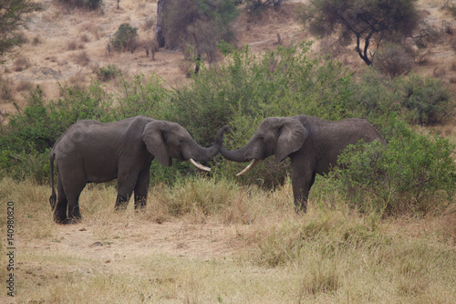 Two African Elephants Fighting in Tanzania