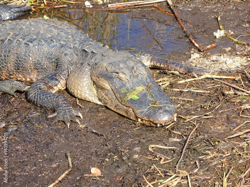 Foto op Plexiglas Krokodil American alligator at Evergaldes National park in florida