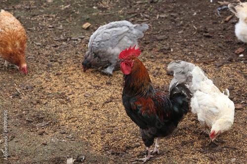Staande foto Kip hens in a backyard