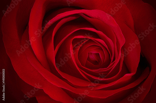 Staande foto Roses Red Rose