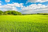 Landschaft im Frühling, Feld mit Gerste, frisches Grün