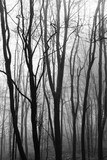 English woodland on a foggy misty morning