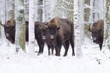 Zimowe żubry  - 141010290