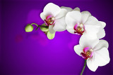 white orchids on gradient purple background