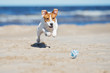 jack russell terrier dog playing on a beach