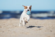 jack russell terrier dog running on a beach