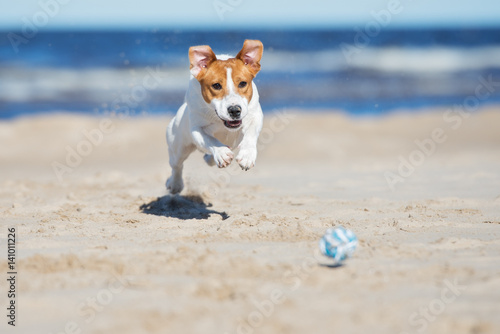 Poster jack russell terrier dog playing on a beach