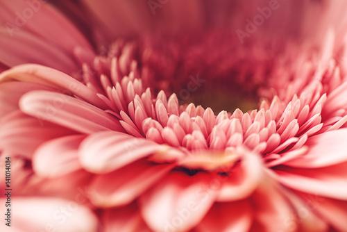 Fotobehang Gerbera macro photography of pink daisy or gerbera, floral background with petals