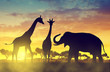 Silhouette elephant and giraffes on the savannah at sunset.