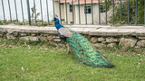 Istanbul, Turkey - March 2, 2017: A peacock walking in the gardens of Adile Sultan palace in Istanbul