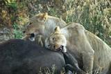 Lions eating a prey, Ngorongoro Crater, Tanzania