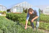 Bauer auf einem Feld mit Gemüse, im hintergrund Gewächshäuser - 141032225