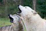 American wolfdog