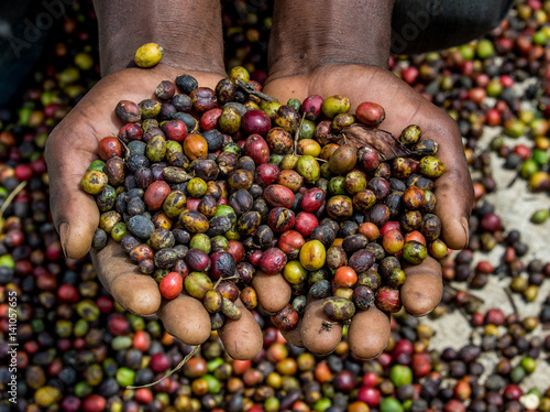 Fotobehang Koffiebonen Grains of ripe coffee in the handbreadths of a person. East Africa. Coffee plantation. An excellent illustration.