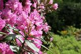 Flowering branch of rhododendron in the spring garden. Pink azalea flower.