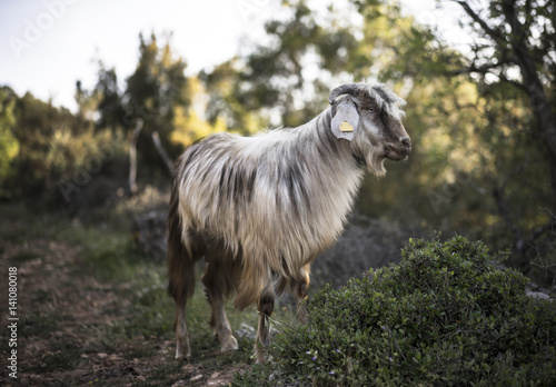 Poster Long Haired Goat in Path, Turkey