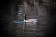 Canada goose floating on the water
