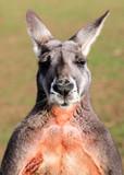 Red Kangaroo Mugshot