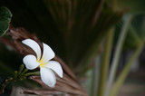 Close up to white plumeria flower on the tree