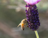 A honey bee on a lavender flower.